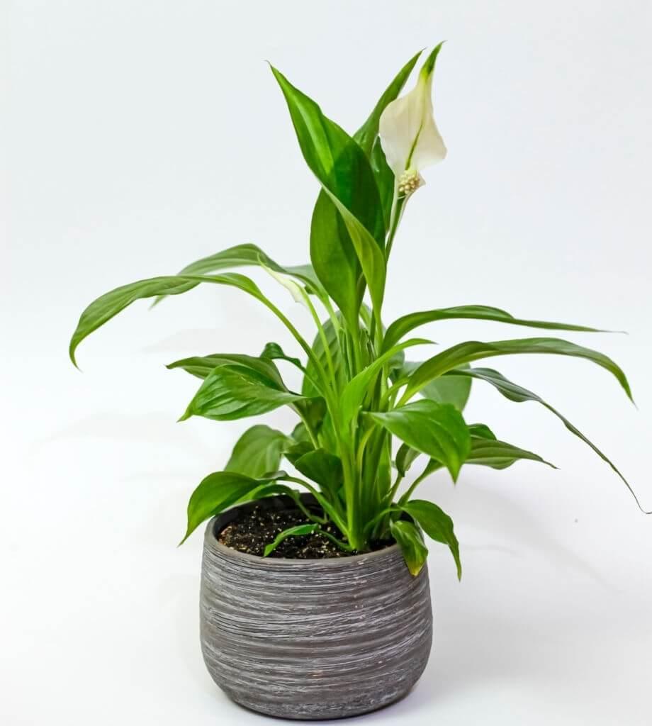 6. Spathiphyllum